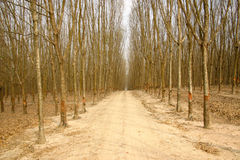 Summer rubber tree. Dry rubber tree and the rural road Stock Photos