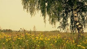 Summer rural landscape with birch stock video