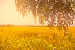Summer rural landscape with birch. On the meadow. Warm colors Royalty Free Stock Images
