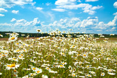 Summer rural landscape with a blossoming meadow and the blue sky Stock Images