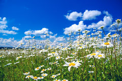 Summer rural landscape with a blossoming meadow and the blue sky Royalty Free Stock Image
