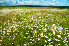 Summer rural landscape with a blossoming meadow and the blue sky Royalty Free Stock Photo