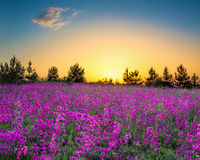 Summer rural landscape with flowering purple flowers on a meadow. And sunrise. panorama of spring blossoming field with wildflowers. panoramic view stock photography