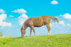 Summer rural landscape with grazing horse on green pasture royalty free stock images