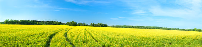 Summer rural landscape a panorama with a yellow field Stock Photos