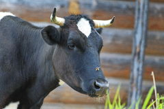 Summer rural landscape. Photo closeup muzzle neck black cow with a white spot on the forehead and bridge of the nose horsefly on a soft background of planks and Stock Photography
