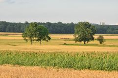 Summer rural landscape. Trees on a meadow on a sunny day stock photography