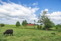 Summer rural scenery with a cow grazing royalty free stock images