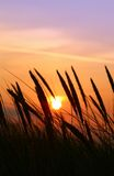 Summer rushes. Close-up of rushes with multicolored summer sunset in background Stock Images
