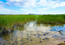 Summer rushy lake. View with some plants on water surface stock photos