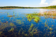 Summer rushy lake. View with some plants on water surface royalty free stock images