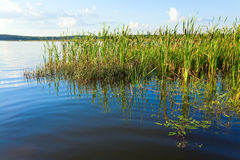 Summer rushy lake. View with some plants on water surface royalty free stock photos