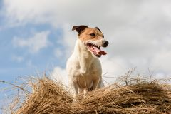 Summer rustic scene with dog on hay bale at hot day Royalty Free Stock Images