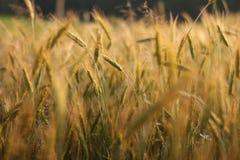 Summer rye. Clouseup look of summer rye field stock photo