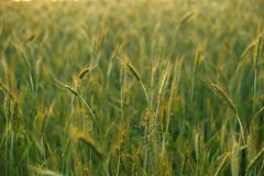 Summer rye Stock Photography