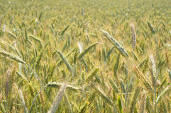 Summer rye Stock Images