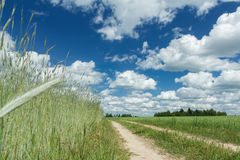 Summer rye farm field under white cirrus clouds and blue bright sky. Summer rye farm field under white cirrus clouds and clear blue bright sky Royalty Free Stock Image