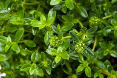 Summer savory stock images
