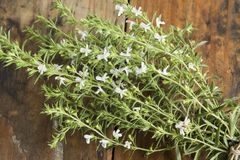 Summer Savory , Satureja Hortensis, Bunch Stock Images