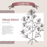 Summer savory vector hand drawn sketch. Satureja hortensis aka summer savory vector hand drawn sketch. Culinary herbs collection. Great for cooking, medical Royalty Free Stock Photography