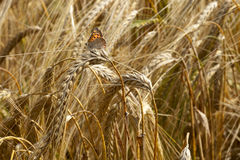 Summer scene. Of ripe Barley crop with Small Copper Butterfly Stock Photo