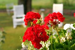 Summer scene. In the backyard with red and white flowers and two white rocking chairs in background royalty free stock photos