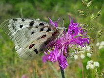 Summer scene. Apollo Butterfly or Mountain Apollo, sitting on the pink flower in the nature. Beautiful insect with pink. Flower stock images