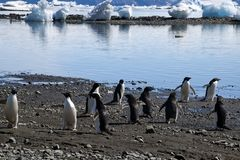 Group of adelie penguins on beach. Summer scene on beach at Devil Island, Antarctica