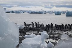 Group of adelie penguins at water`s edge royalty free stock photography