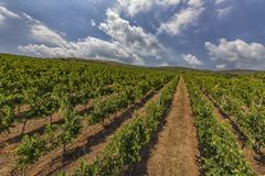 Green vineyard with cloudy sky Royalty Free Stock Photos