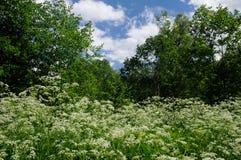 Summer scene with blooming ground elder Stock Photo