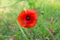 Summer scene with bright red poppy flowers field, golden sunshine. Summer wallpaper background stock image