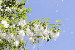 Summer scene - poplar's fluff Royalty Free Stock Photo