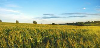 Summer scene with rye field at sunset. Panoramic view of rye field and trees behind stock image