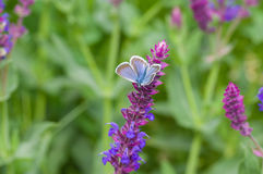 Summer scene with sage flower and butterfly Royalty Free Stock Photo