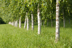 Summer scene. With young birches Stock Images