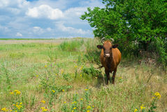 Summer scenery in cows' community Royalty Free Stock Photography