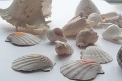 Summer seashell Stock Images