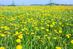Summer season with dandelions flowers Royalty Free Stock Image