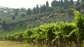 Summer season, green vineyards moving in the wind in Chianti region, Tuscany. Italy. 4K UHD Video. stock footage
