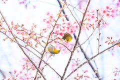 Two Oriental White-eye breeding on the branch of a Wild Himalaya. Before summer season, Two Oriental White-eye breeding on the branch of a Wild Himalayan Cherry Royalty Free Stock Photo