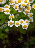 Summer shade with the blossoming camomile flowers Stock Images