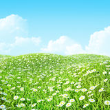 Summer shiny colorful meadow with chamomile. Royalty Free Stock Photography