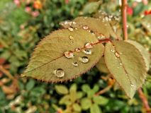 Summer Showers. Leaves from rose bush with water droplets Royalty Free Stock Photos