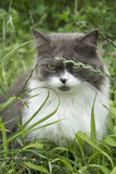 In summer, sitting in the grass greyish-white fluffy cat. Stock Image