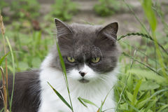 In summer, sitting in the grass greyish-white fluffy cat. Stock Photos