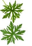 Summer Skies. Geranium Pratense Summer Skies leaves isolated on white royalty free stock image