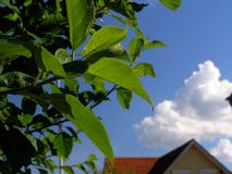 Summer sky. Appletree leaves in focus with house and white cloud in the background royalty free stock photo