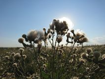 Summer sky with beautiful thistles. Summer peaceful sky with warm sun and beautiful fluffy thistles stock photos