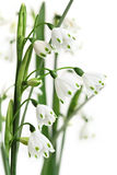 Summer Snowflake. Flowers, in soft focus over white. Leucojum aestivum, part of the amaryllis family stock photography